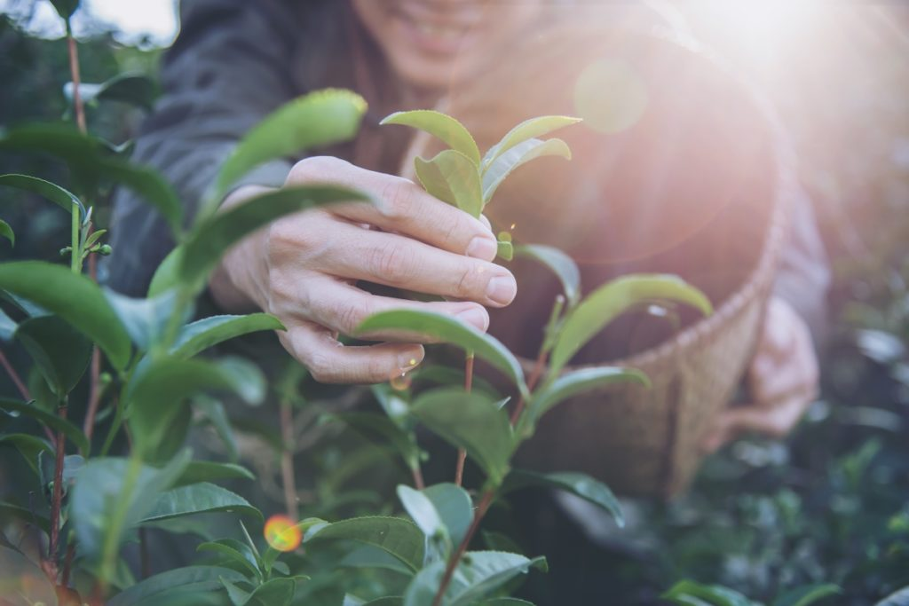 delmarte-high-quality-tea-harvest-pick-fresh-green-tea-leaves